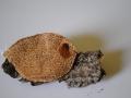 Coriolopsis_gallica03
