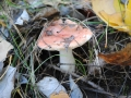 Russula_exalbicans02