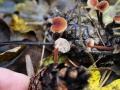 Auriscalpium_vulgare01